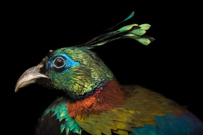 Picture of a male Himalayan Monal (Lophophorus impejanus) at the Santa Barbara Zoo.
