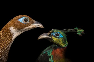 Picture of a male and female Himalayan Monal (Lophophorus impejanus) at the Santa Barbara Zoo.
