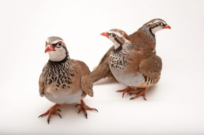 Red-legged partridges (Alectoris rufa) from Cammack Gamebird Farm.