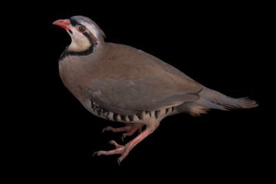 Picture of a chukar partridge (Alectoris chukar) from a private collection.