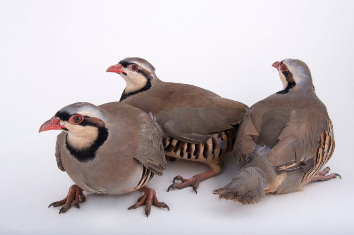 Picture of Chukar partridges (Alectoris chukar) from a private collection.