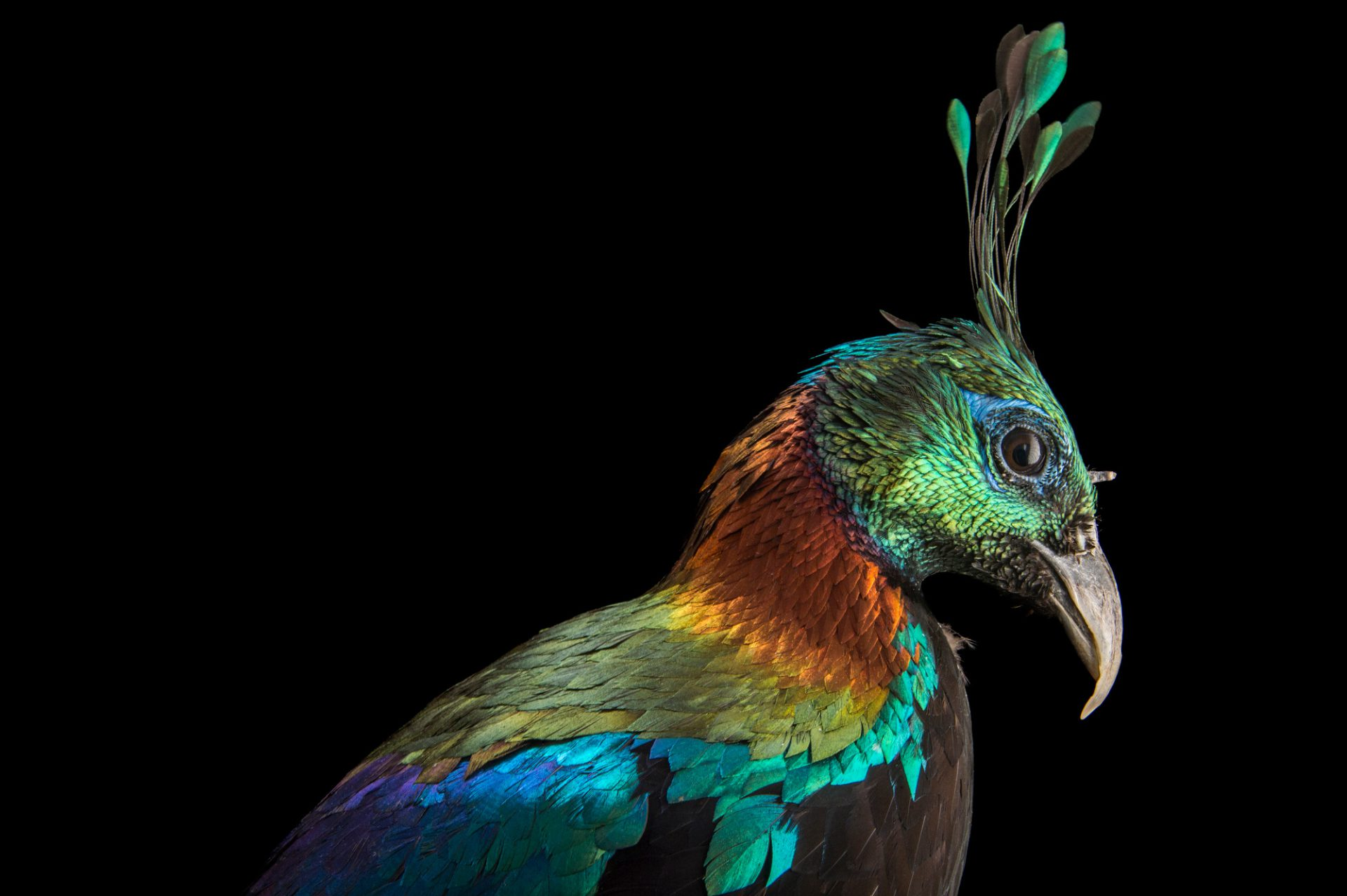 A male Himalayan monal pheasant (Lophophorus impejanus) at Pheasant Heaven, a private pheasant breeding center near Clinton, NC.