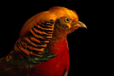 A male golden pheasant (Chrysolophus pictus) Padmaja Naidu Himalayan Zoological Park in Darjeeling, India.