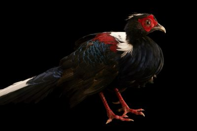 Picture of a federally endangered Swinhoe's pheasant (Lophura swinhoii) at the Suzhou Zoo.
