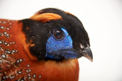 Picture of a Temminck's tragopan (Tragopan temminckii) from Sylvan Heights Waterfowl Park.