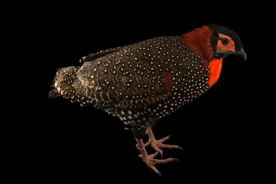 Picture of a vulnerable (IUCN) and federally endangered western tragopan (Tragopan melanocephalus) at the Himalayan Nature Park in Kufri India.