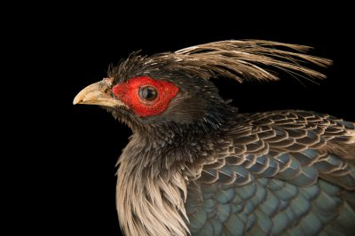 Picture of a white-crested kalij pheasant (Lophura leucomelanos hamiltoni) at Himalayan Nature Park in Kufri.