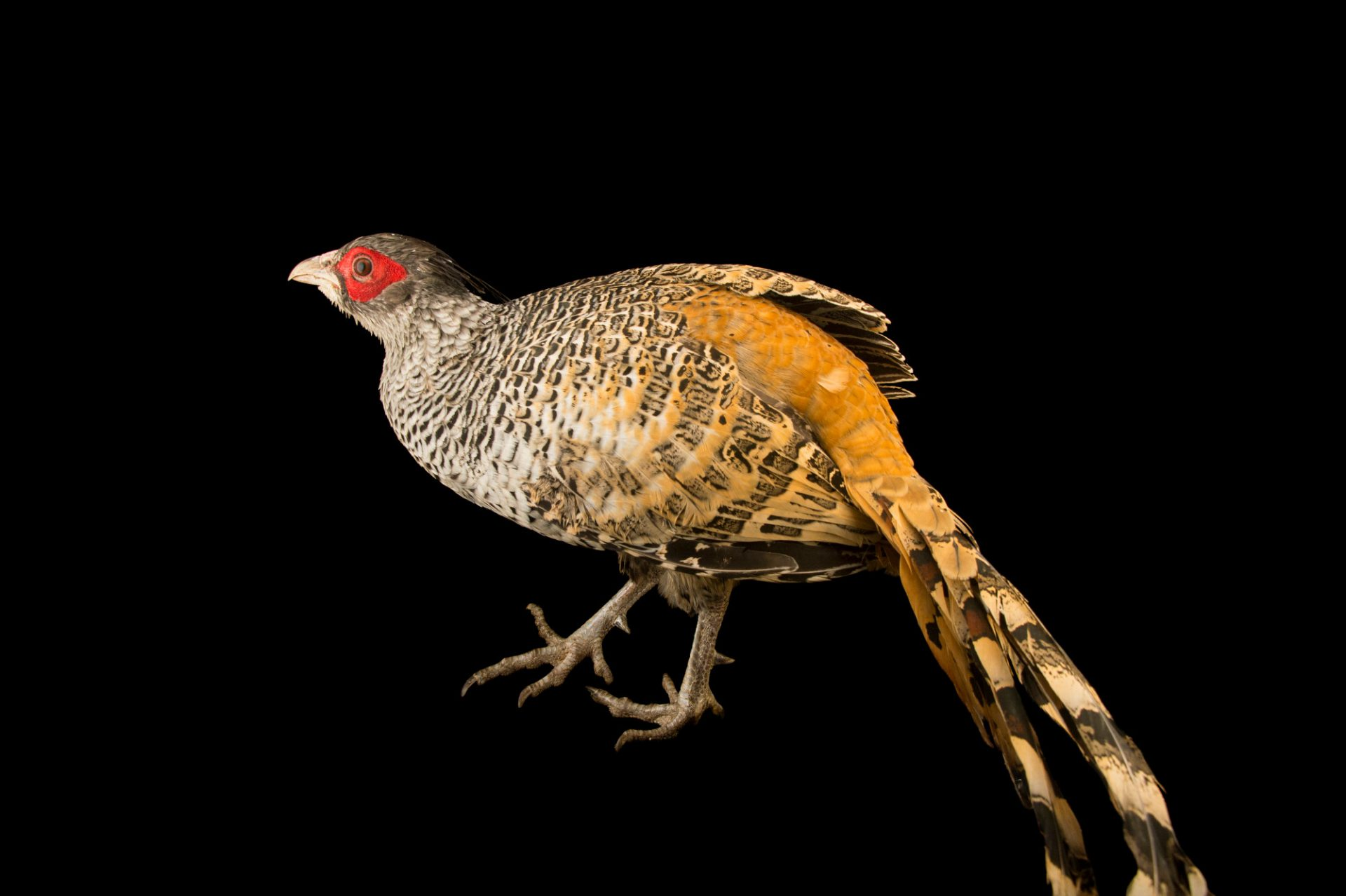 Photo: A male cheer pheasant (Catreus wallichii) at Himalayan Nature Park in Kufri.