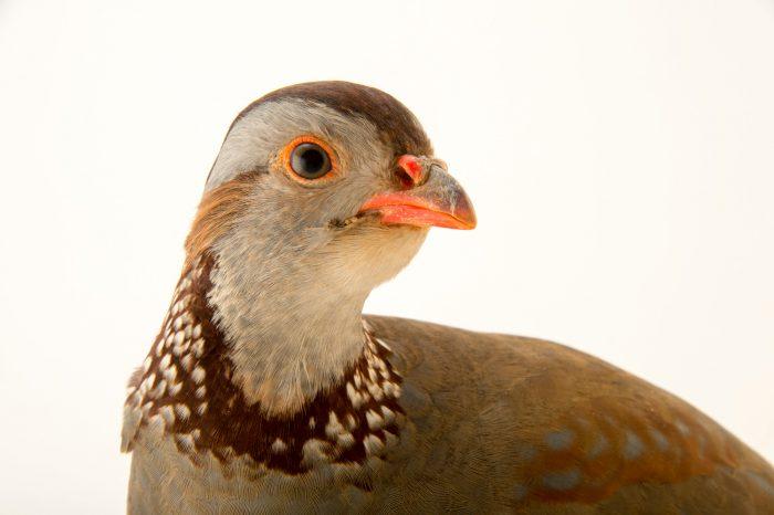 Photo: A Barbary partridge (Alectoris barbara) at the Plzen Zoo.