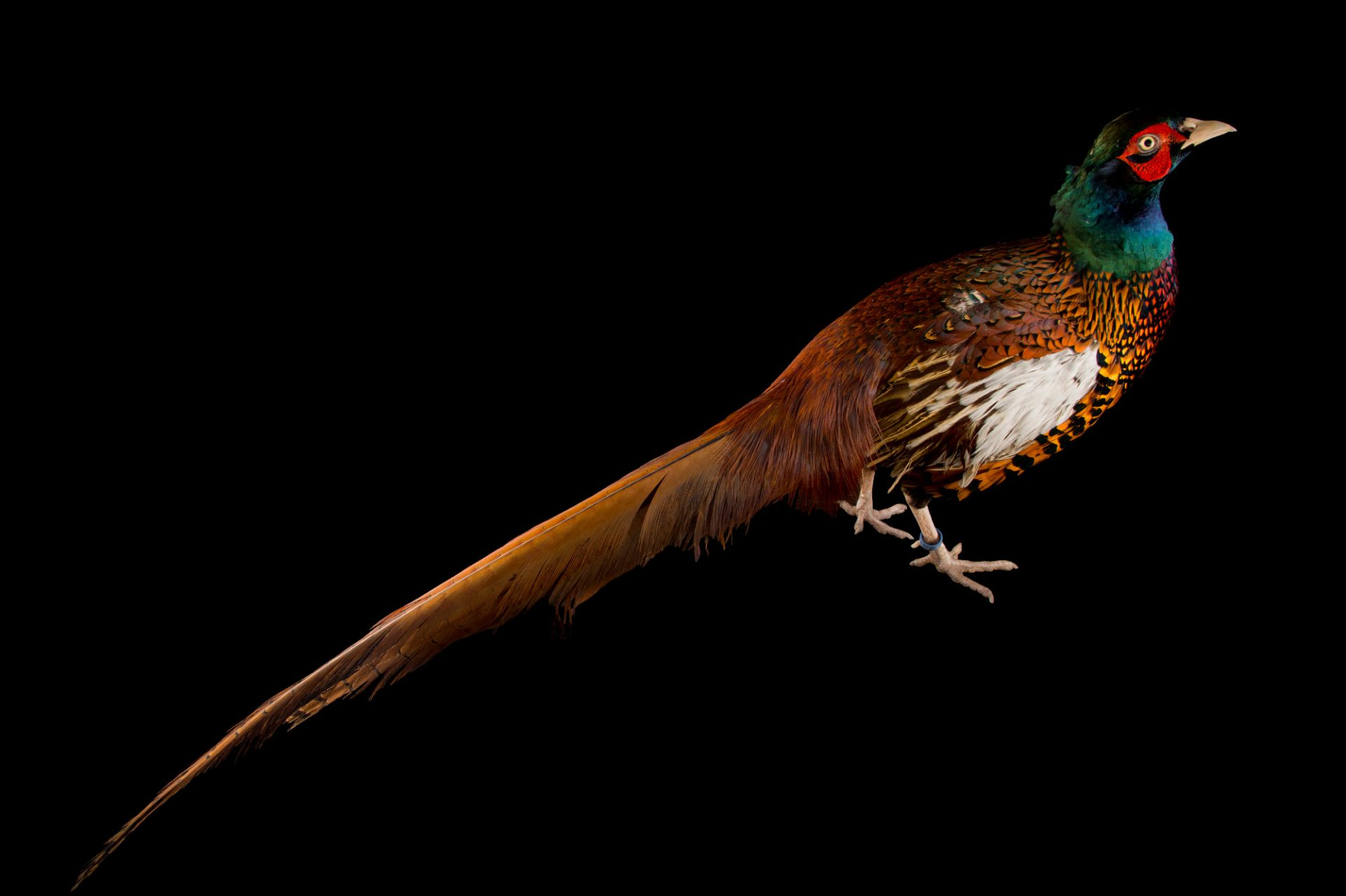 Photo: A male Bianchi's pheasant (Phasianus colchicus bianchi) at the Plzen Zoo.