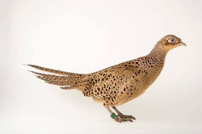 Photo: A female Kirghiz pheasant (Phasianus colchicus mongolicus) at the Plzen Zoo.