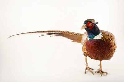 Photo: A male Chinese ring necked pheasant (Phasianus colchicus torquatus) at the Plzen Zoo.
