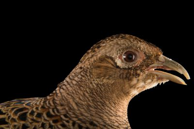 Photo: A female Chinese ring necked pheasant (Phasianus colchicus torquatus) at the Plzen Zoo.