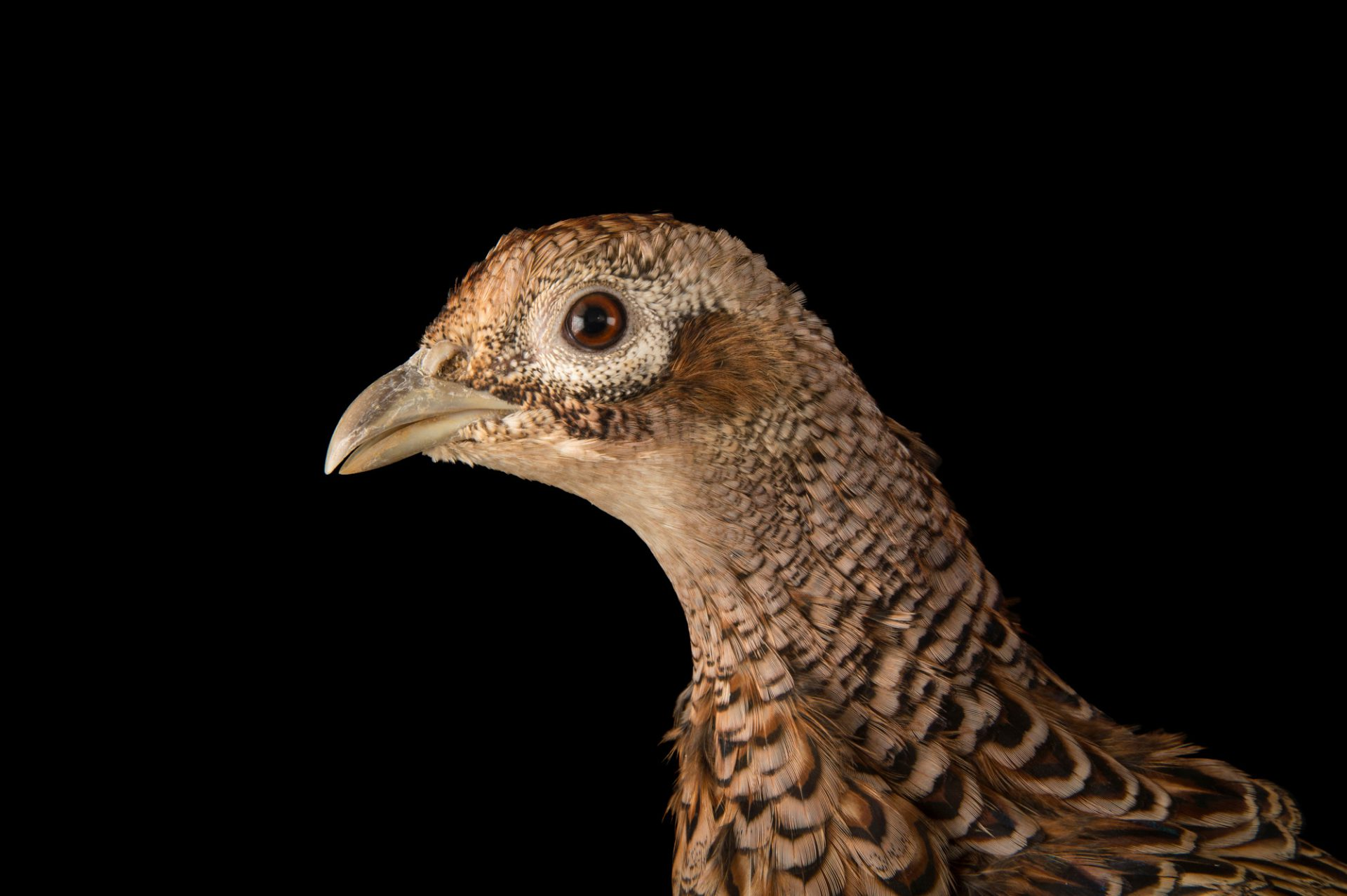 Photo: A female Manchurian ring necked pheasant (Phasianus colchicus pallasi) at the Plzen Zoo.