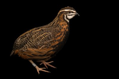 Photo: A male Harlequin quail (Coturnix delegorguei) at the Dvur Kralove Zoo.