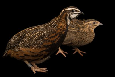 Photo: A pair of Harlequin quail (Coturnix delegorguei) at the Dvur Kralove Zoo.