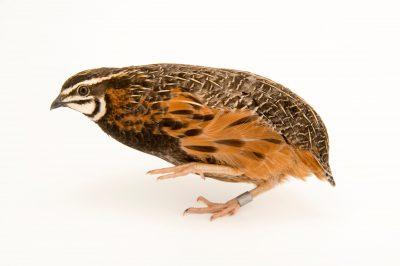 Photo: A male Harlequin quail (Coturnix delegorguei) at Safari Park Dvur Kralove.
