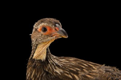 Photo: Yellow-necked francolin (Pternistis leucoscepus) at the Dvur Kralove Zoo.