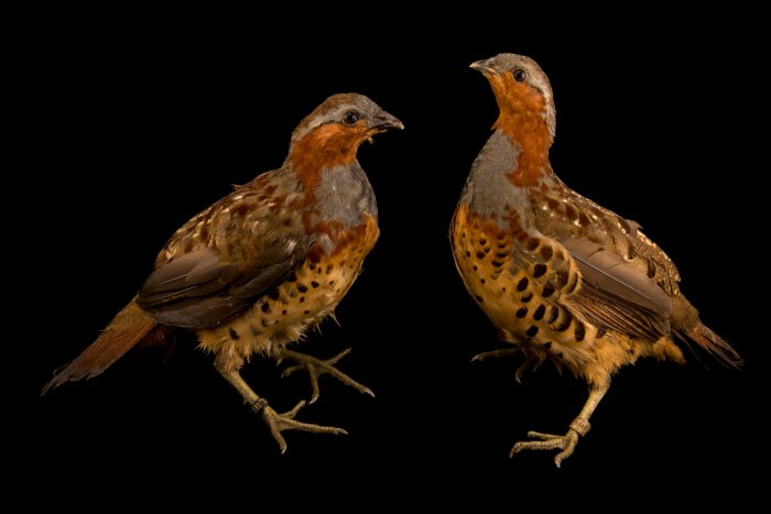 Photo: Male and female Chinese bamboo partridges (Bambusicola thoracicus thoracicus) at Jurong Bird Park.