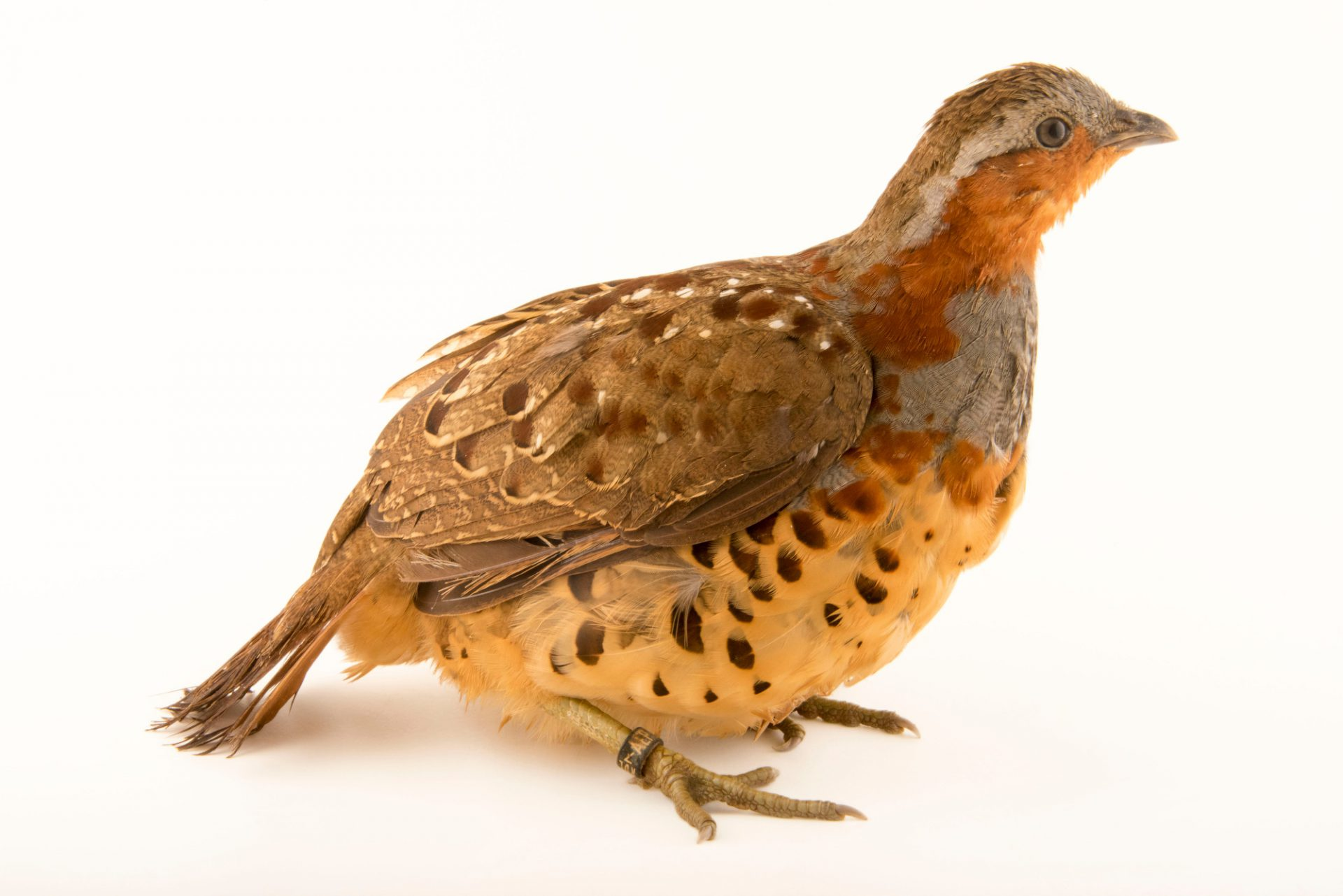 Photo: A Chinese bamboo partridge (Bambusicola thoracicus thoracicus) at Jurong Bird Park.