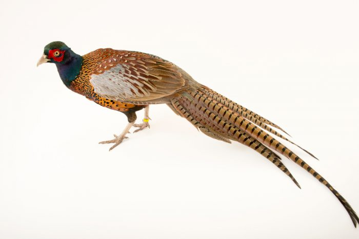 A male Strauch's pheasant (Phasianus colchicus strauchi) at the Plzen Zoo in the Czech Republic.