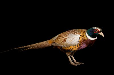 Photo: A male Korean ring necked pheasant (Phasianus colchicus karpowi) at the Plzen Zoo in the Czech Republic.