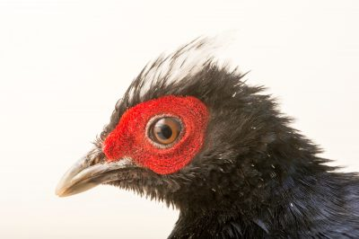 Photo: A critically endangered male Edward's pheasant (Lophura edwardsi) at the Plzen Zoo in the Czech Republic.
