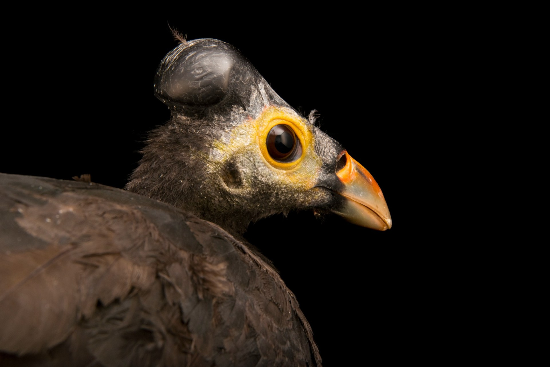 Photo: Maleo (Macrocephalon maleo) at the Houston Zoo
