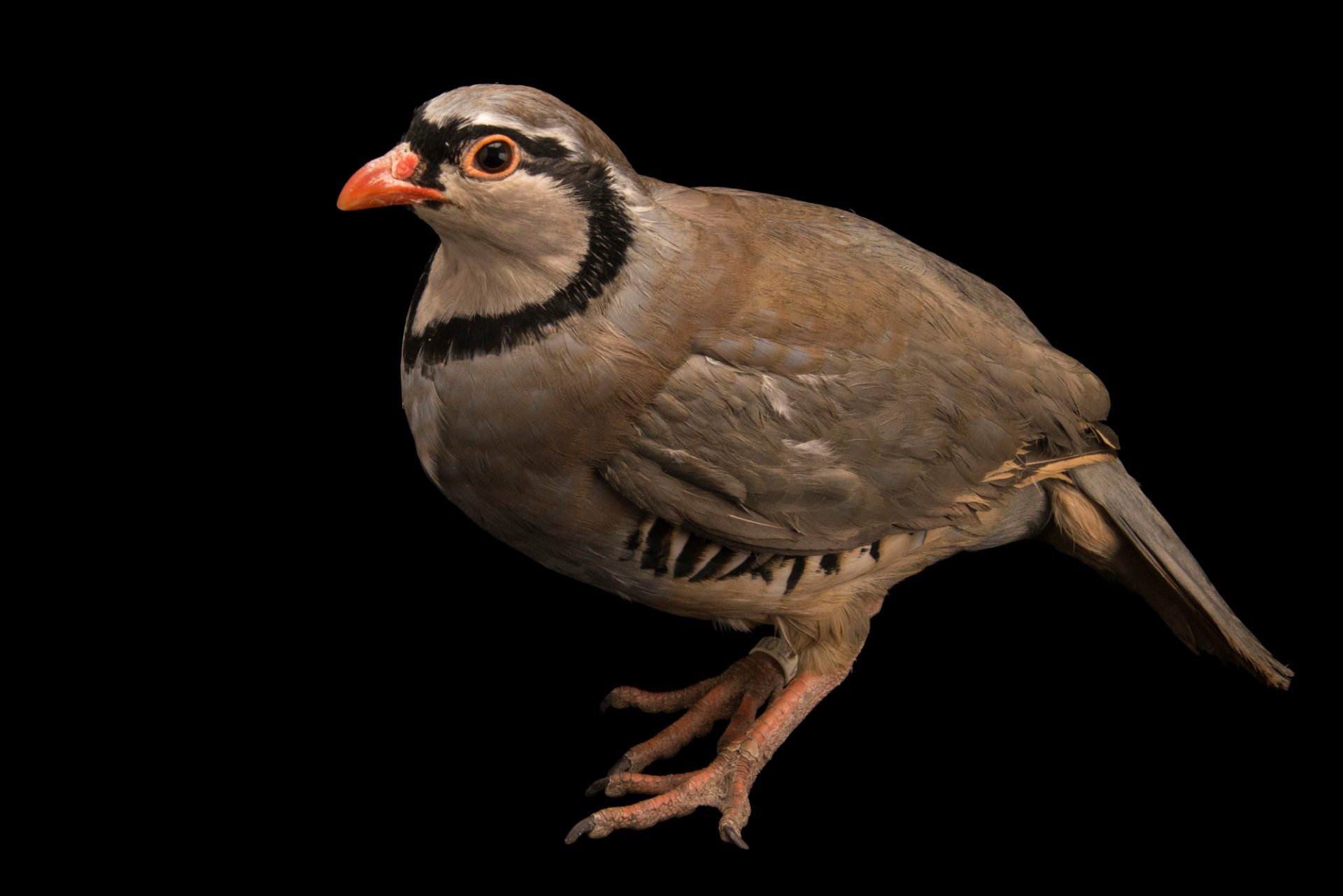 Photo: Rock partridge (Alectoris graeca saxatilis) at Alpenzoo in Innsbruck, Austria.