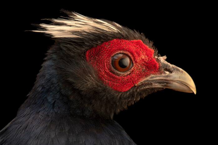 Photo: A critically endangered Edward's pheasant (Lophura edwardsi) at the Berlin Zoo.