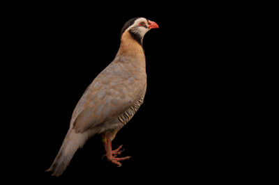 Photo: An Arabian partridge (Alectoris melanocephala) Tierpark Berlin.
