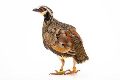 Photo: A bar-backed partridge (Arborophila brunneopectus) at the Prague Zoo.