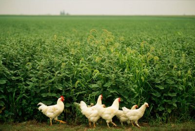 Photo: Chickens walk past a growing field.