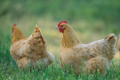 Photo: Buff Orpington chickens in Texas.