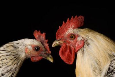 Photo: Egyptian Fayoumis chickens (Gallus gallus fayoumi), one of the many rare domestic breeds of livestock at the Sedgwick County Zoo.