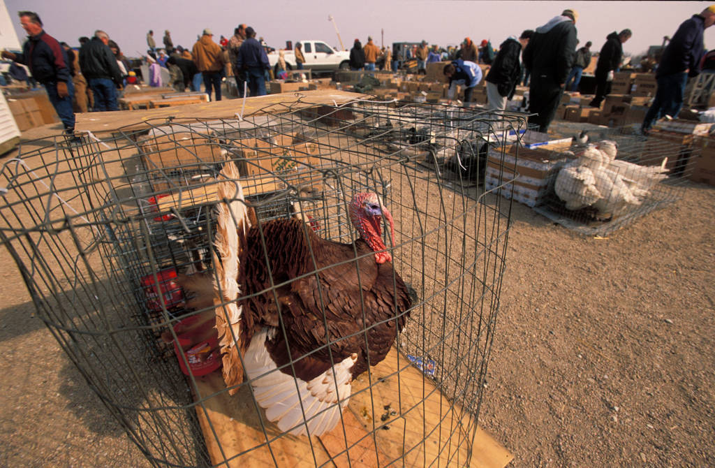 Photo: A large turkey at a country event.