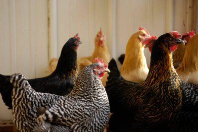 Photo: Chickens at the Soukup Farm in Nebraska.