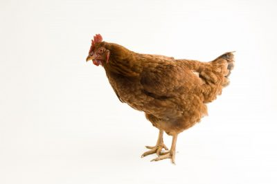 Picture of a New Hampshire red hen chicken.