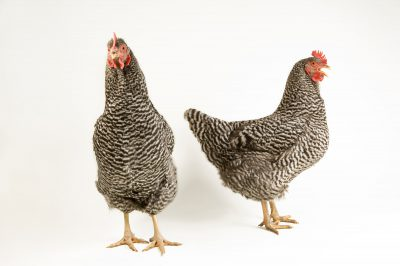 Photo: Sweetie (left) and Pansy, Barred rock hen chickens at the Soukup Farm.