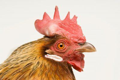 Photo: Honey, a brown leghorn hen chicken at the Soukup Farm.