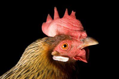 Photo: Honey, a brown leghorn hen chicken.