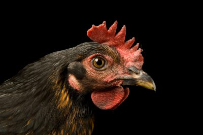 Photo: Brown-eyed Susan, a production black hen chicken.