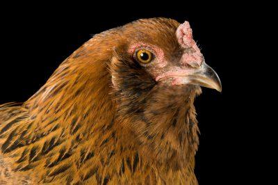 Photo: Carmen, an Ameraucana chicken/American chicken.