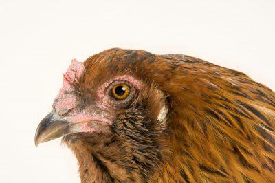 Photo: Carmen, an Araucana chicken/American chicken.