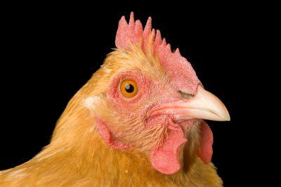 Photo: Sunny, a buff orpington chicken at the Soukup Farm.