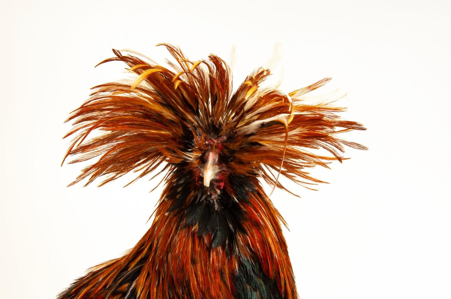 Photo: Buckwheat, a golden Polish chicken at the Soukup Farm.