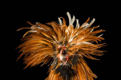 Photo: Buckwheat, a golden Polish chicken at the Soukup Farm.