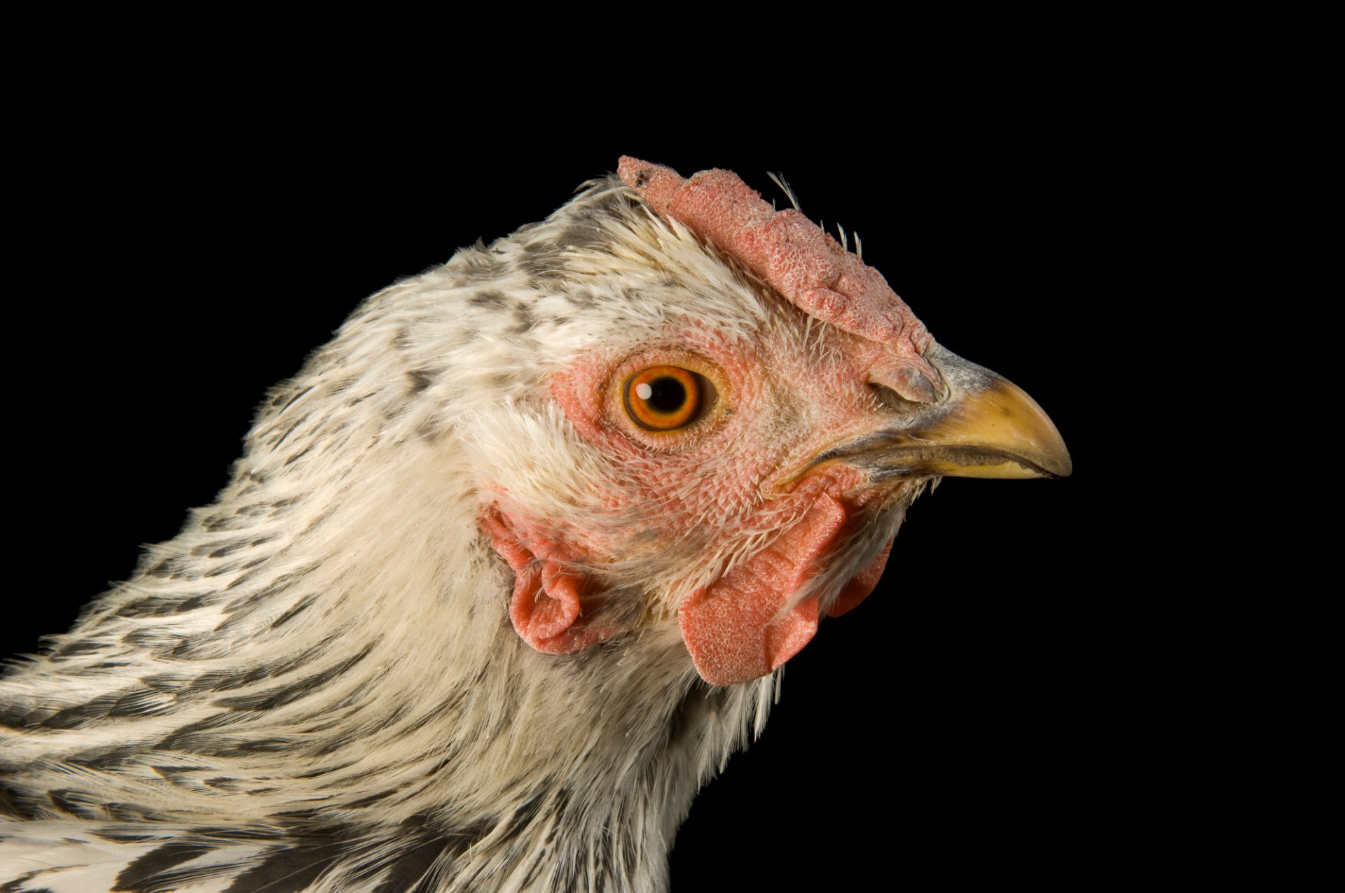 Photo: Holly, a silver laced Wyandotte chicken.