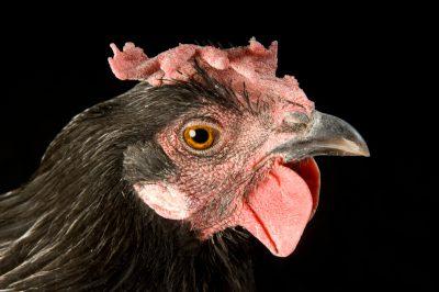 Photo: Waukesha, a black minorca chicken.