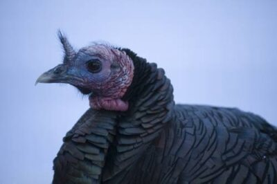 A wild turkey (Meleagris gallopavo) at the Great Plains Zoo.
